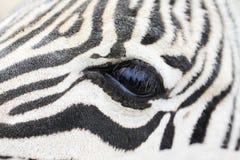 Occhio della fine della zebra su fotografia stock libera da diritti