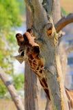 Occhio della giraffa Fotografia Stock