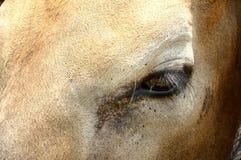 Occhio della mucca Immagini Stock