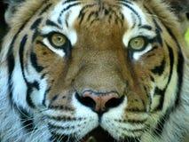 Occhio della tigre Fotografie Stock Libere da Diritti