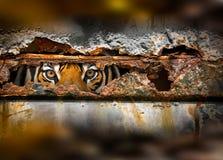 Occhio della tigre in foro arrugginito del metallo immagini stock