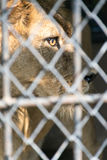 Occhio della tigre in gabbia feroce Fotografia Stock