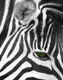 Occhio della zebra immagini stock libere da diritti