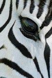 Occhio della zebra Fotografia Stock Libera da Diritti
