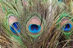 Occhio delle piume di coda del pavone Fotografie Stock