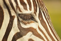 Occhio delle zebre Immagini Stock Libere da Diritti