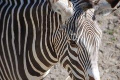 Occhio delle zebre fotografia stock