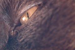 Occhio di grande gatto maschio Fotografie Stock