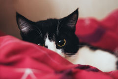 Occhio di seduta di giallo del gatto nero isolato Immagine Stock