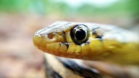 Occhio di serpente Fotografia Stock