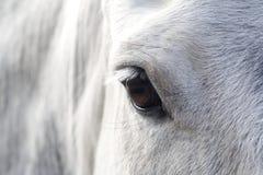 Occhio di un cavallo Immagini Stock