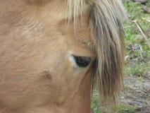 Occhio di un cavallo marrone dell'azienda agricola Immagine Stock Libera da Diritti