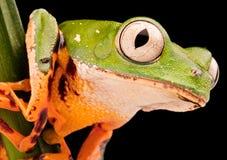 Occhio di una rana di albero della scimmia della gamba della tigre Fotografia Stock Libera da Diritti