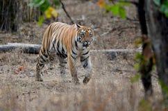 Occhio di una tigre Immagine Stock Libera da Diritti