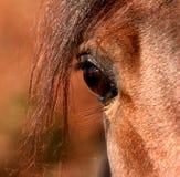 Occhio di uno Stallion arabo Fotografia Stock Libera da Diritti