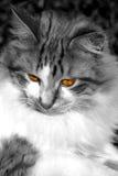 Occhio dorato Fotografia Stock Libera da Diritti