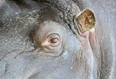 Occhio ed orecchio del Hippopotamus Fotografia Stock