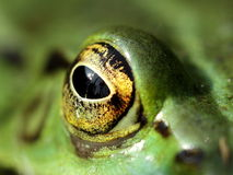 Occhio fissante di una rana verde Fotografia Stock Libera da Diritti
