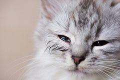 Occhio infettato del gatto fotografia stock libera da diritti