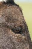 Occhio miniatura dell'asino Fotografia Stock