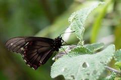 Occhio scuro della farfalla Fotografia Stock Libera da Diritti
