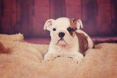 Occhio striato del cucciolo inglese del bulldog Fotografia Stock