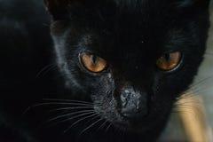 Occhio tagliente del gatto nero Fotografia Stock
