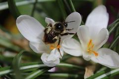 Occidental manosee la abeja Fotos de archivo libres de regalías