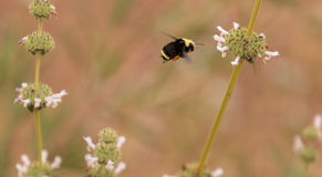 Occidental manosee los occidentalis del Bombus de la abeja Foto de archivo libre de regalías