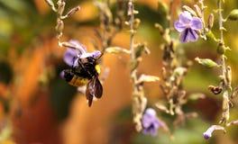 Occidental manosee los occidentalis del Bombus de la abeja Foto de archivo