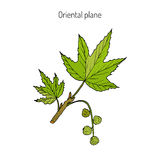 Occidental plane branch Stock Photography