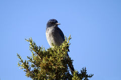 Occidentale freghi Jay, californica di Aphelocoma fotografie stock