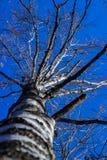 Occidentalis brancos do Platanus da árvore do sicômoro americano da casca com fruto pontudo no inverno contra o céu azul Fotografia de Stock Royalty Free