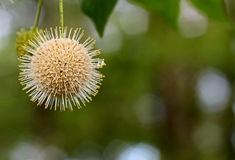 Occidentalis de Cephalanthus Photos libres de droits
