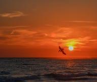 Occidentalis del pelecanus del pelícano de Brown que se zambullen para los pescados en la puesta del sol en el Golfo de México en Foto de archivo