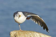 occidentalis larus чайки западные Стоковые Изображения