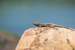 Occidentalis occidentaux de Lizard Sceloporus de barrière se reposant sur une roche lisse, canyon froid de Stebbins, Napa Valley, image stock