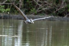 Occidentalis Pelecanus пеликана Брайна в болоте на острове Marco Стоковая Фотография