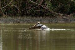 Occidentalis Pelecanus пеликана Брайна в болоте на острове Marco Стоковые Фото