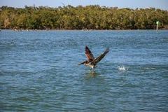 Occidentalis Pelecanus пеликана Брайна летают над океаном на Del Стоковое фото RF