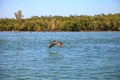 Occidentalis Pelecanus пеликана Брайна летают над океаном на Del Стоковые Изображения RF