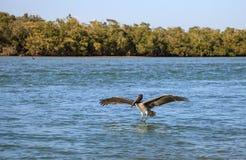 Occidentalis Pelecanus пеликана Брайна летают над океаном на Del Стоковые Изображения