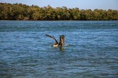 Occidentalis Pelecanus пеликана Брайна летают над океаном на Del Стоковое Изображение RF