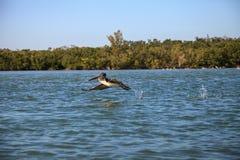 Occidentalis Pelecanus пеликана Брайна летают над океаном на Del Стоковое Фото