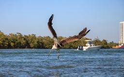 Occidentalis Pelecanus пеликана Брайна летают над шлюпками Стоковые Изображения