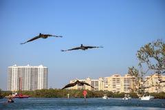 Occidentalis Pelecanus пеликана Брайна летают над шлюпками Стоковые Фотографии RF