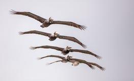 Occidentalis Pelecanus птицы пеликана Брайна Стоковое Изображение