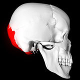 Occipital Bone Royalty Free Stock Photography