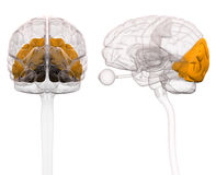 Occipital Brain Anatomy - 3d illustration Royalty Free Stock Photography