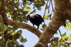 Occipitalis con cresta largos de Lophaetus del águila en un árbol imágenes de archivo libres de regalías